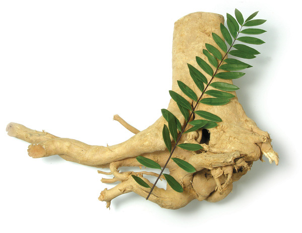 15 Benefits of Tongkat Ali (Eurycoma longifolia) - PuerariaThai™